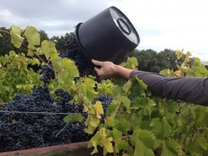 Vendanges © S. Lucchese